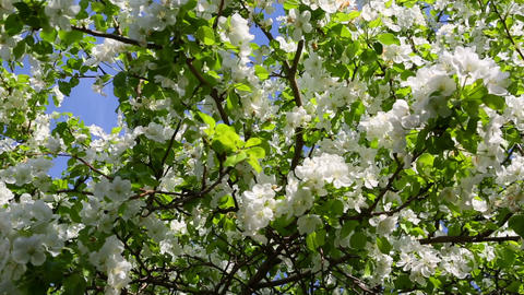 blossom apple tree branches - slider dolly shot Footage