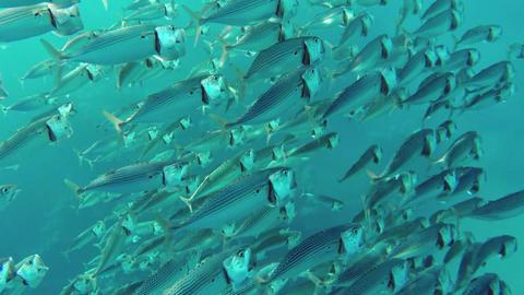 school of Indian mackerel feeding in Red Sea Footage