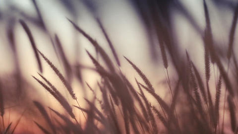 close-up field of feather grass at sunset Footage