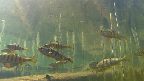 Perch swimming among water horsetail stems in slow Footage