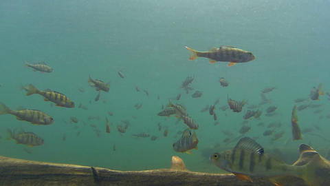 Diving into a large school of fish Footage