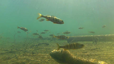 School of perch and the gleaming sun Footage