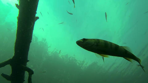 Low-angle backlight view of fish swimming Footage