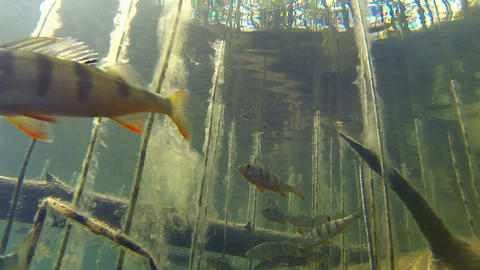 Close-up Perch And Water Horsetail With Algae stock footage