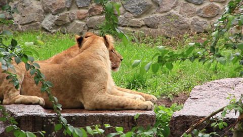 African Lions Live Action
