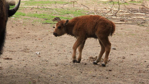 European Bison. Baby Bison Bonasus stock footage