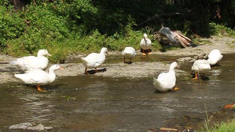 White ducks Live Action