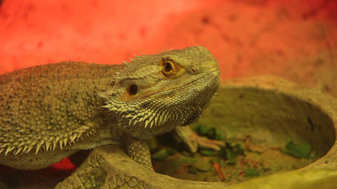 Agama. Dragon lizard Live Action