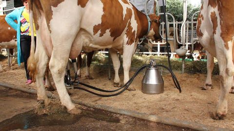 Automated milking Live Action