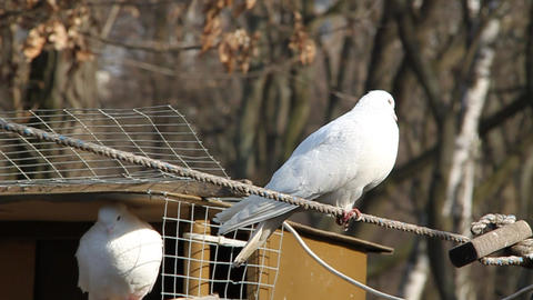 White pigeons Live Action