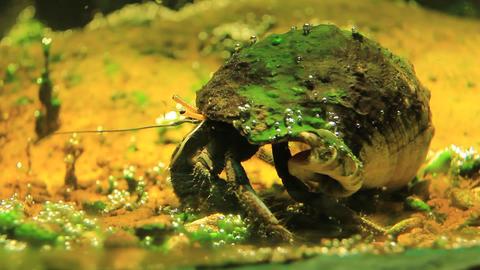 Diogenes-crab Footage