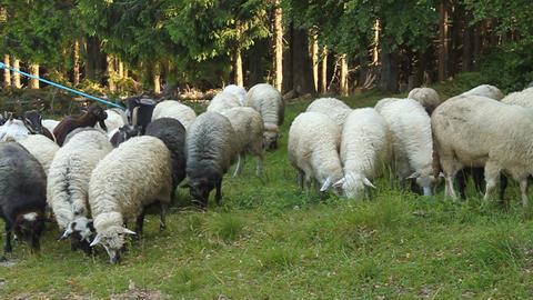 Flock of sheeps Footage