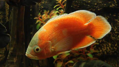 Aquarian Fish stock footage