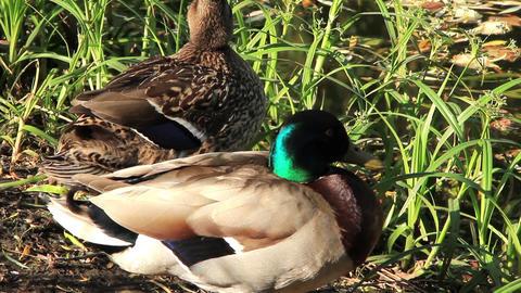 Ducks Live Action