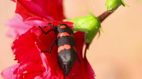 Beetle stock footage