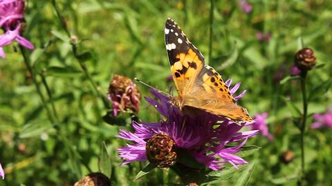 Beautiful butterfly Footage