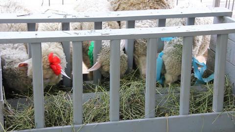 White sheeps Footage