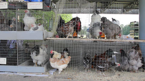 Chickens Stock Video Footage