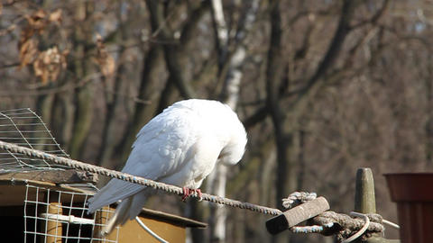 White pigeon Live Action