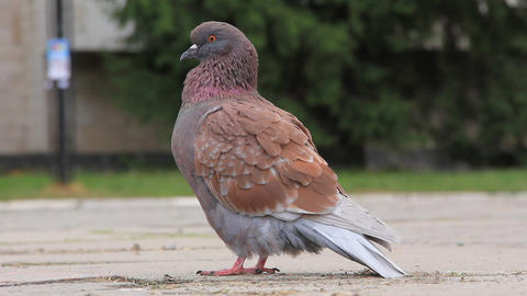 Pigeon Live Action