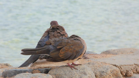 Egyptian Pigeons Prink stock footage