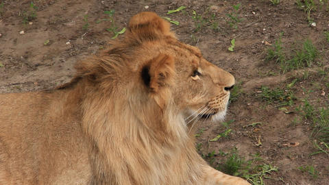 African lion Live Action
