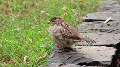 Sparrow stock footage
