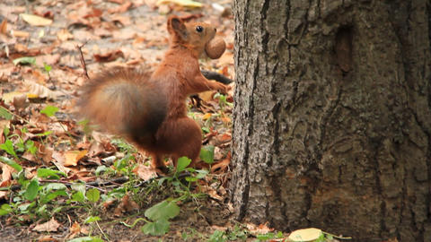 Squirrel with walnut Live Action
