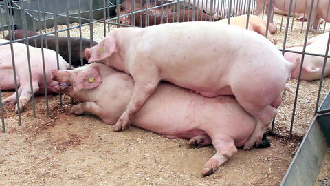Pigs Sex 2 stock footage