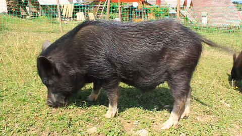 Wild boar Live Action