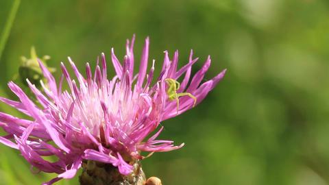 Little green spider on wild flower Footage