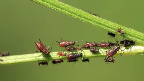Aphids Live Action