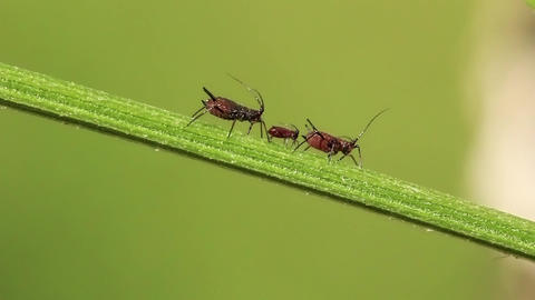Aphids Footage