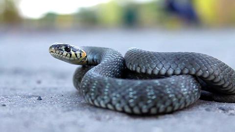 Grass snake Live Action
