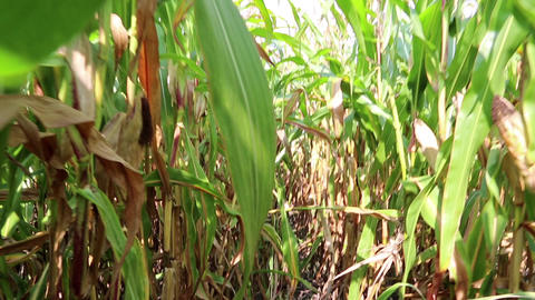 Walking through a cornfield Footage
