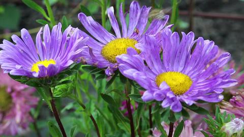 Worker bee on purple flowers Footage