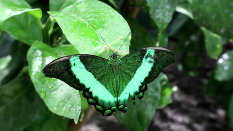 Beautiful green butterfly sit on wet green leaf in jungle Footage