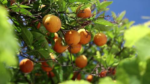 Orangery stock footage