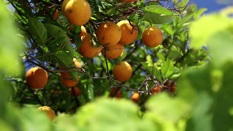 Orange Trees stock footage