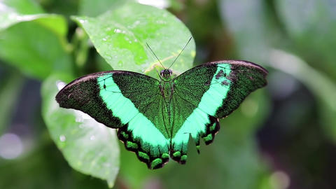 Green butterfly Footage