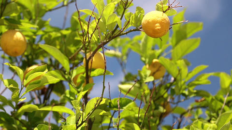 Lemon tree Footage