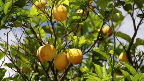 Lemon trees Footage