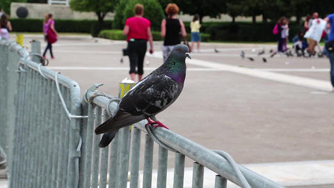 People And Pigeons stock footage