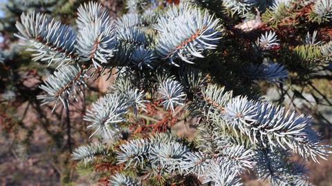 Blue spruce Footage