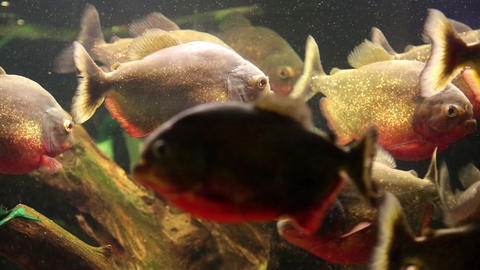 Red piranhas in aquarium Footage