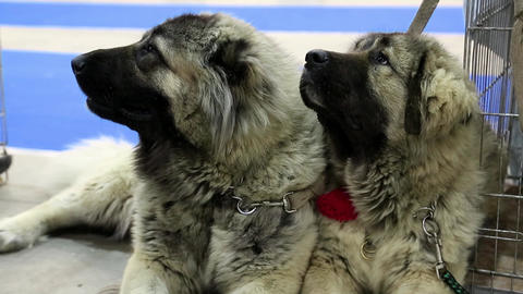 Caucasian shepherd dogs Footage
