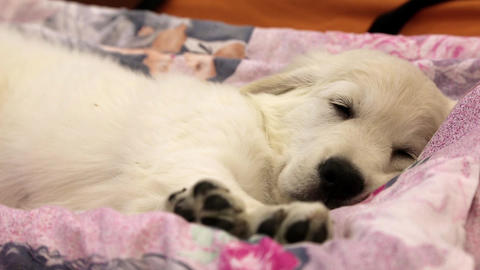 Little White Dog Sleeping On Bed stock footage
