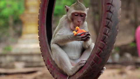 Monkey sitting inside wheel and eats fruit Footage