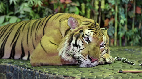 Tiger on a iron leash in zoo Footage
