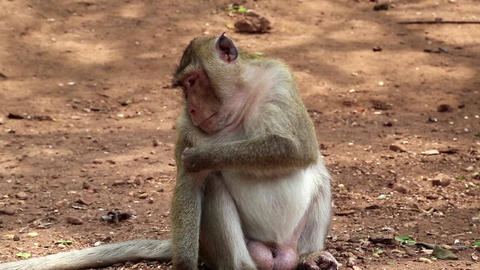 Rhesus macaque sits on ground Footage